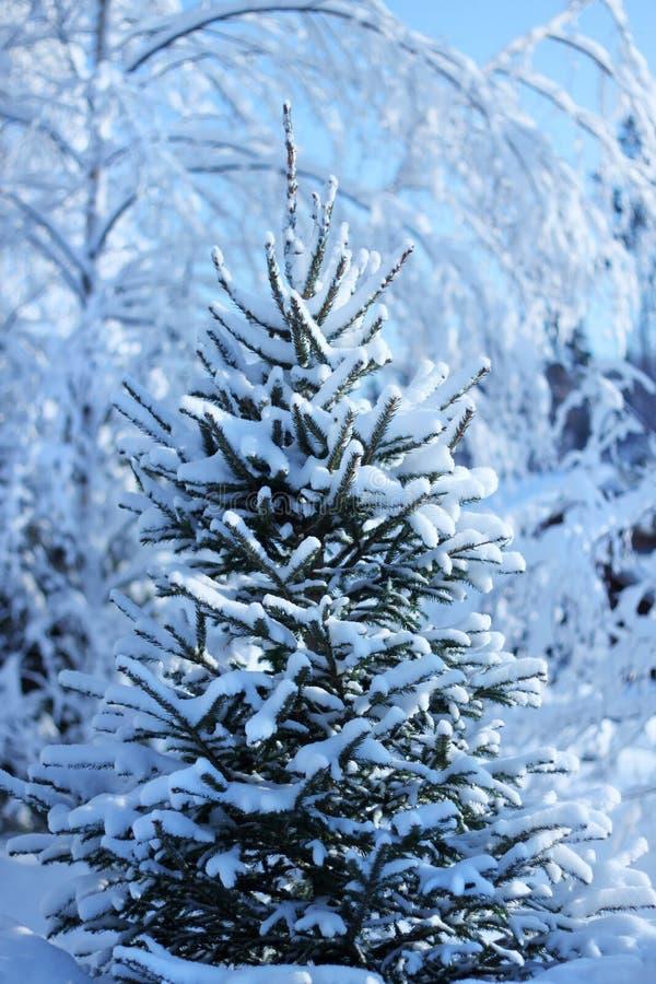 Fir tree in winter forest