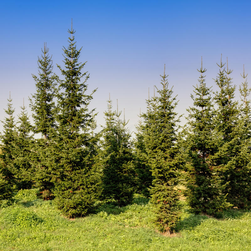 Fir trees. In park against clear blue sky stock image