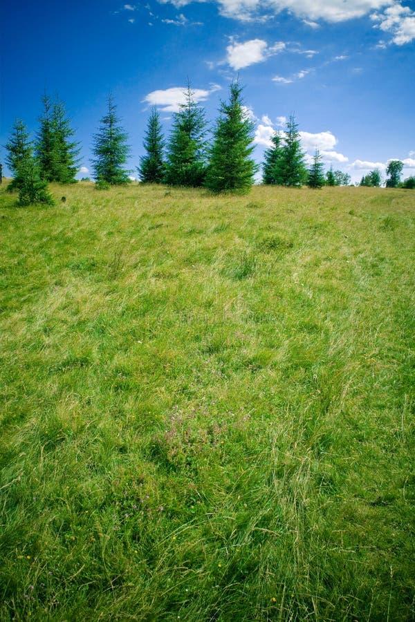 Fir trees. On a hill stock photo