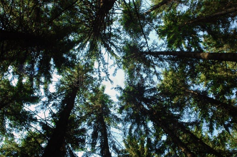 Fir trees. Blue sky and high green fir trees royalty free stock photos