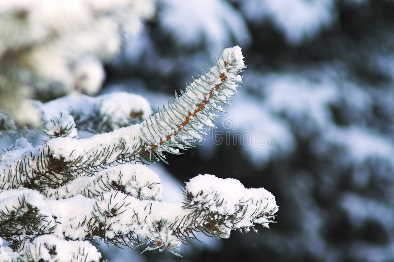 Download Fir Trees Royalty Free Stock Photography - Image: 5735567