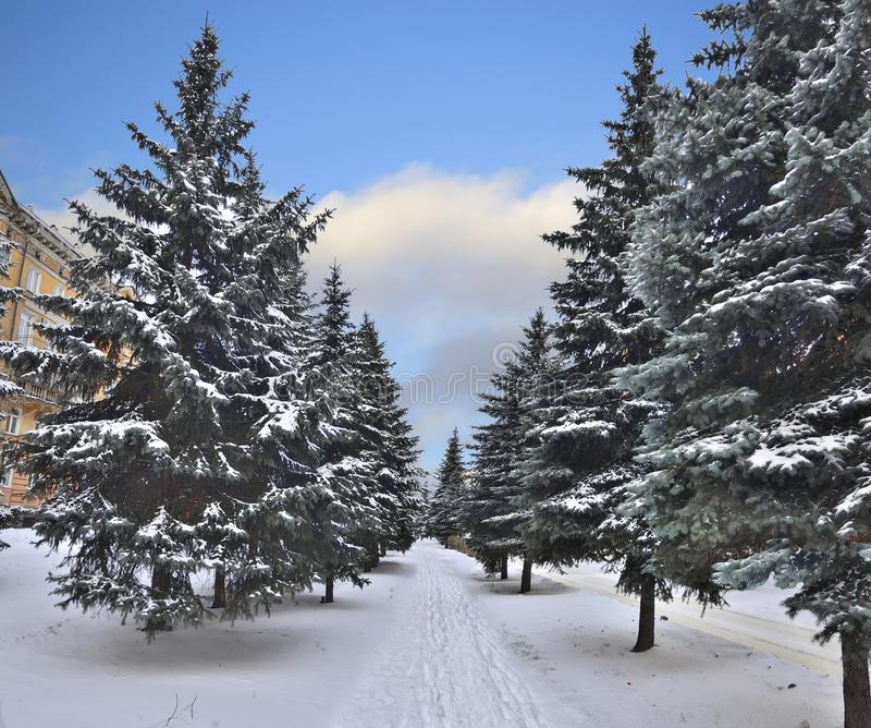 Fir trees alley in the city - winter cityscape royalty free stock image