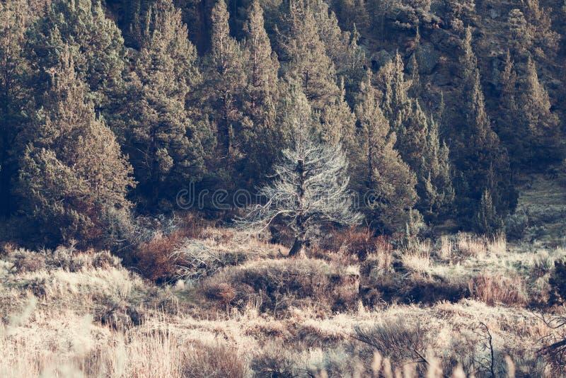 Fir-trees stock image