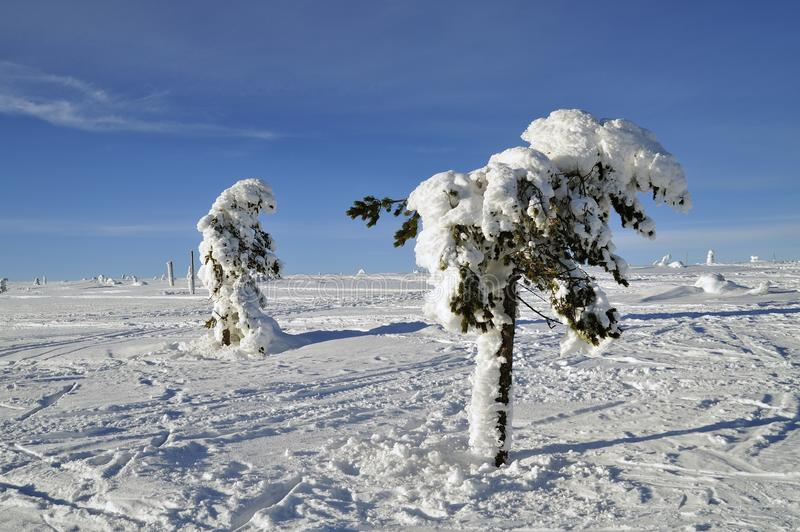 Fir trees covered in snow on Swedish mountain stock photo