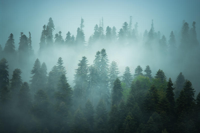 Fir-trees are in fog royalty free stock photos