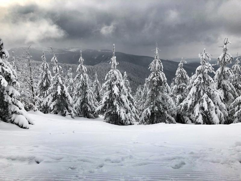 Fir trees in Jeseniky Mountains. Fir trees covered in snow in the Jeseniky Mountains, Czech Republic stock image