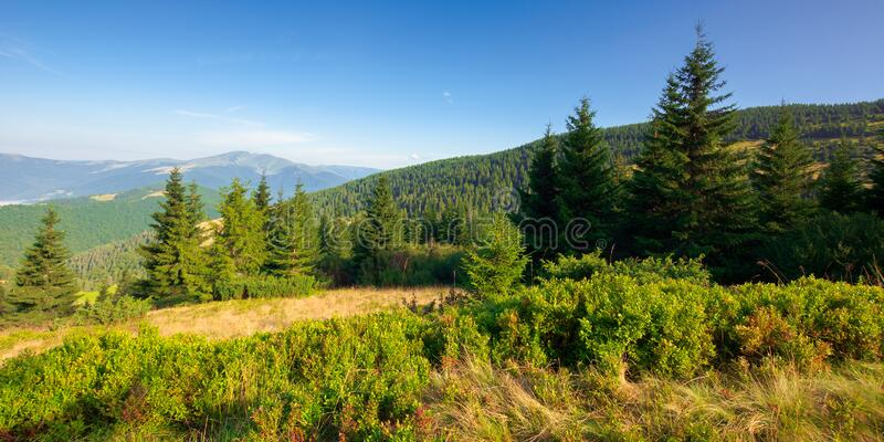 fir trees on the mountain meadow royalty free stock image