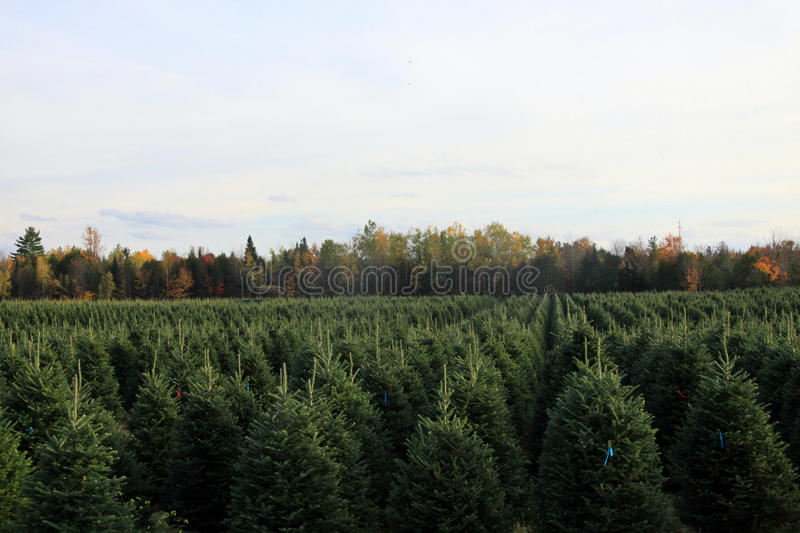 Fir trees. In a plantation stock image
