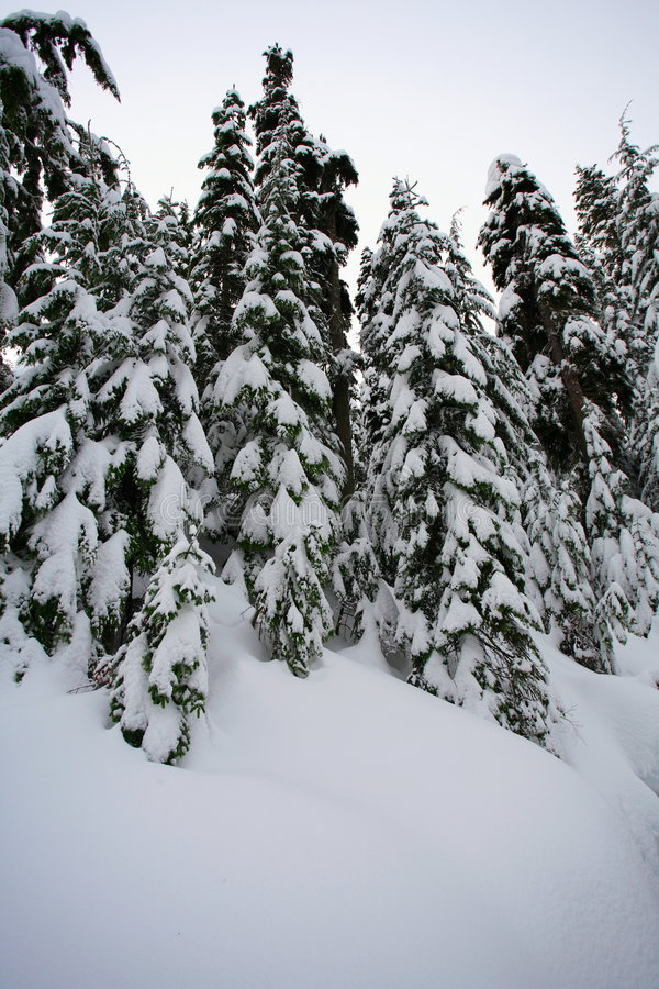 Download Fir Trees With Snow Stock Image - Image: 2300451