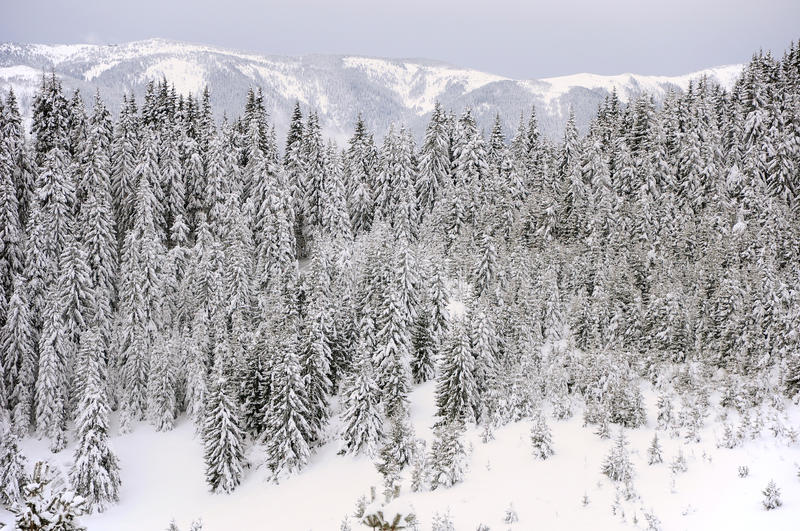 Fir Trees In Snow Royalty Free Stock Photo