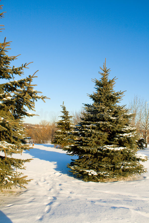 Download Fir Trees With Snow On Blue Sky Stock Photos - Image: 7732963