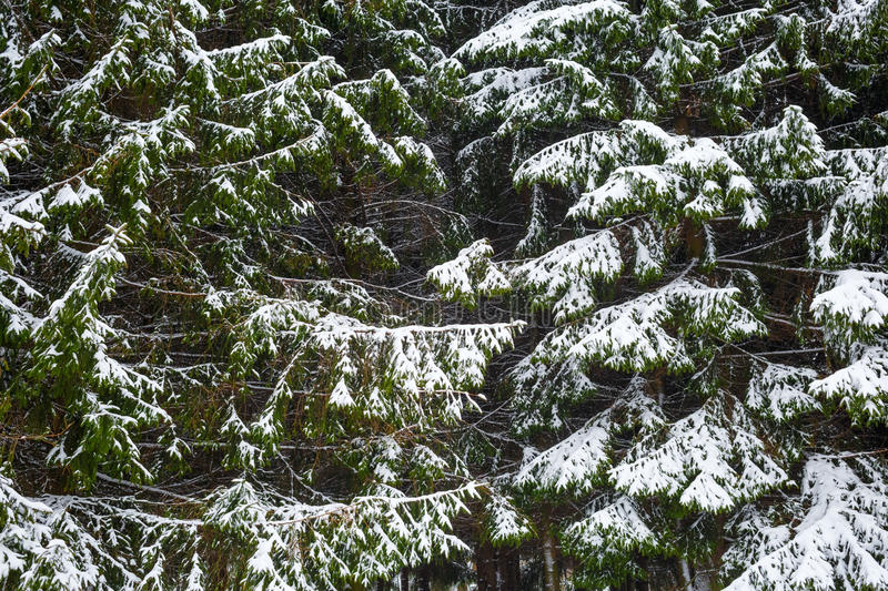 Fir trees and snow royalty free stock image