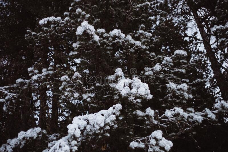Fir trees in snow stock images