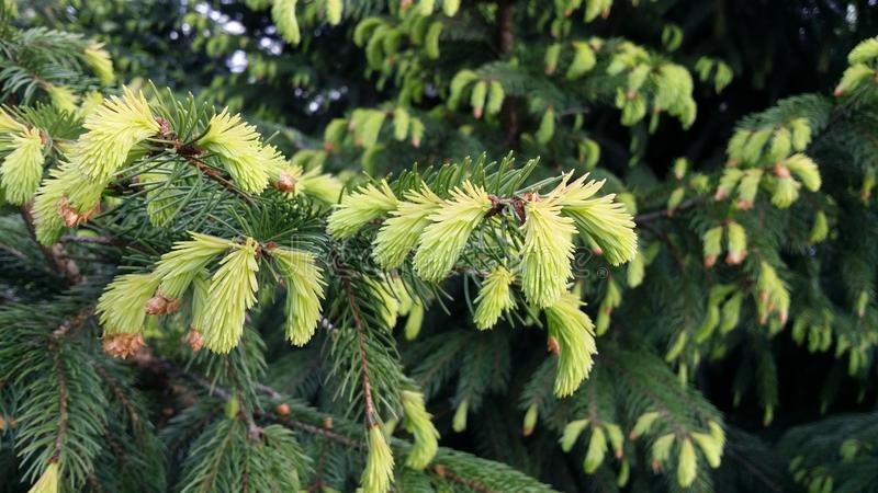 Fir trees in spring stock photo