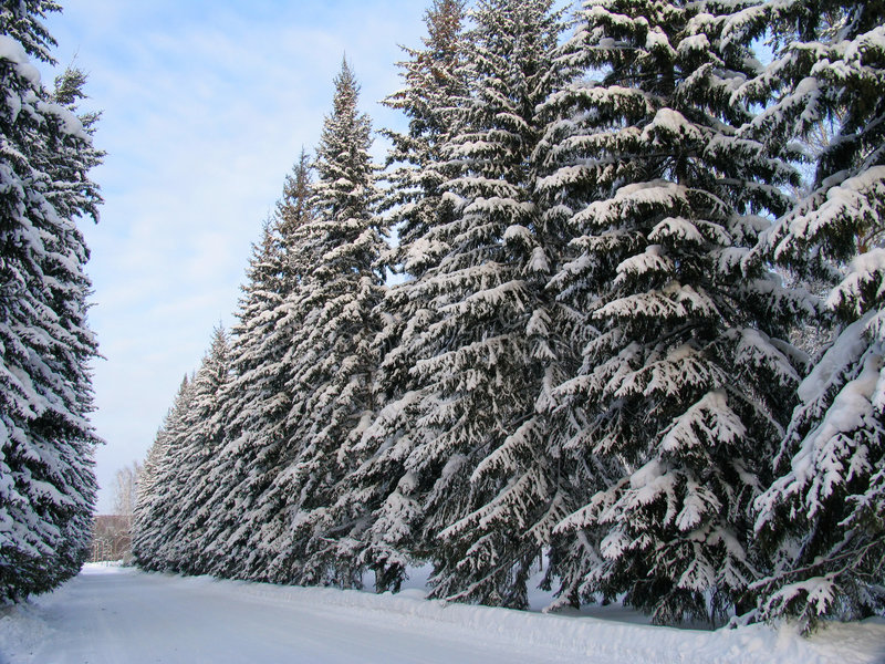 Download Fir trees under the Snow stock photo. Image of scene, roud - 321272