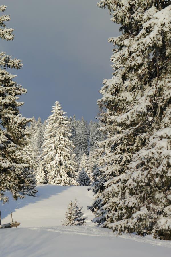 Fir Trees In Winter, Jura Mountain, Switzerland Royalty Free Stock Photos