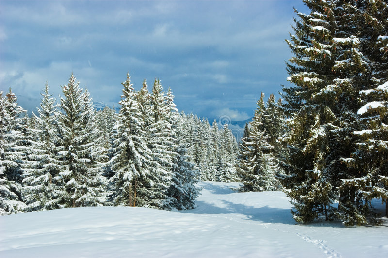 Fir Trees On Winter Mountain Royalty Free Stock Photography