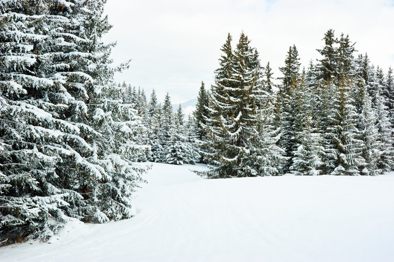 Fir trees on winter mountain. Fir trees covered with snow on winter mountain at French Alps stock image