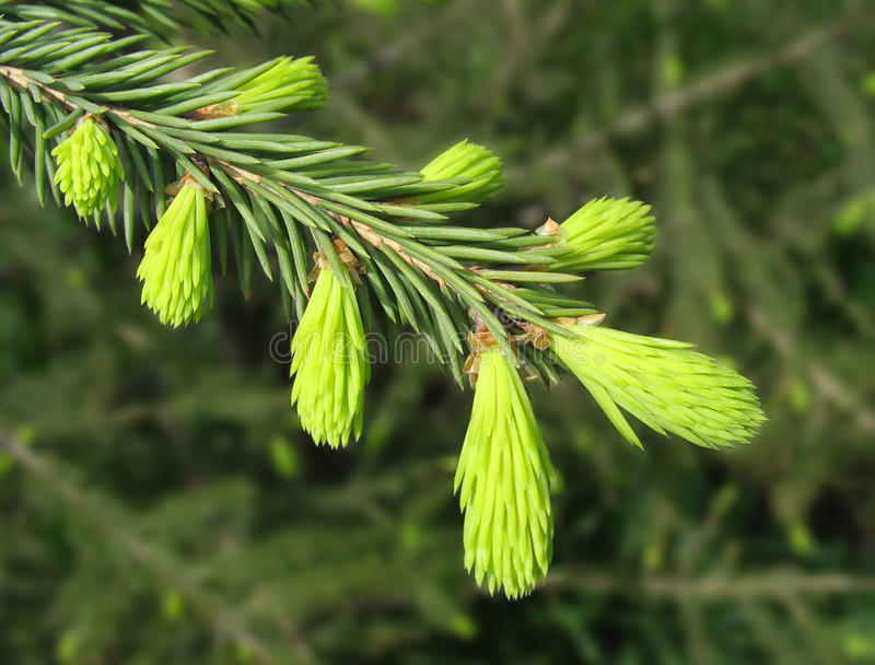 Fir twig with young sprouts royalty free stock image