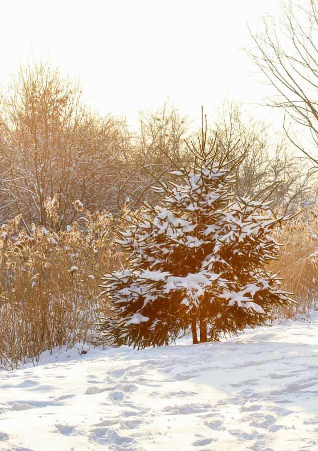 Download Fir Under Snow On Sunny Winter Day Stock Photo - Image of cool, scenery: 38335930