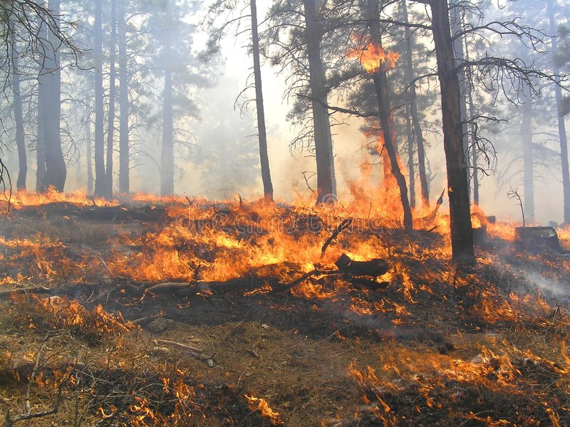 In the Fire. Forest fire burning slash, needles, and dead trees stock photos