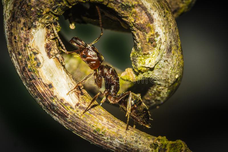 A fire ant crawling up a leaf. stock photos