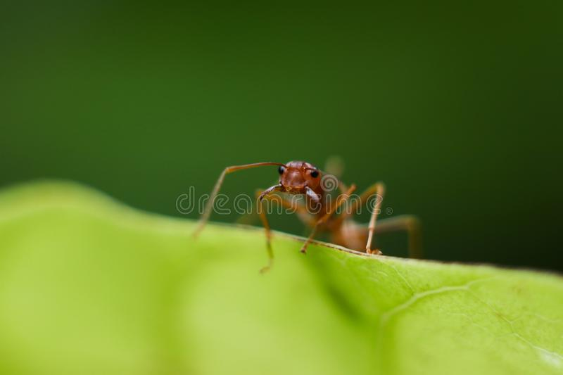 Fire ant intimidate with jaw, protect race and nest on green leaf in nature with macro photography. Fire ant intimidate with jaw, protect race and nest on green stock images