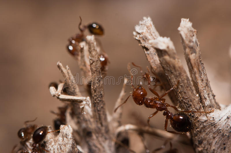 Download Fire Ants stock image. Image of stinging, crawling, legs - 19432869