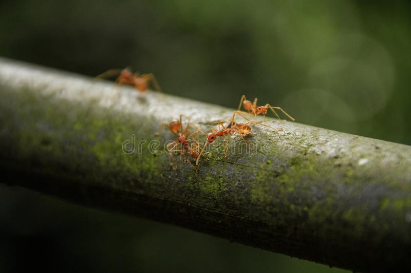 Fire ants looking at the camera, Munnar, Kerala, India. Fire ant is the common name for several species of ants in the genus Solenopsis. They are, however, only stock photography