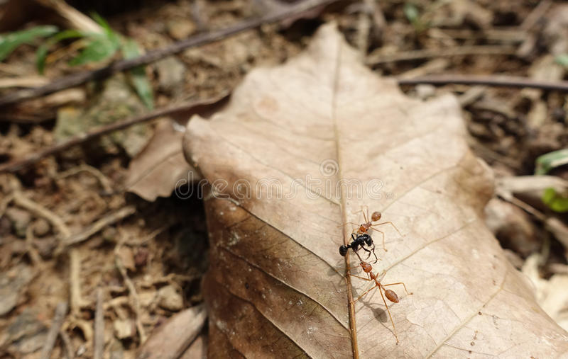 Fire ants and prey stock photo