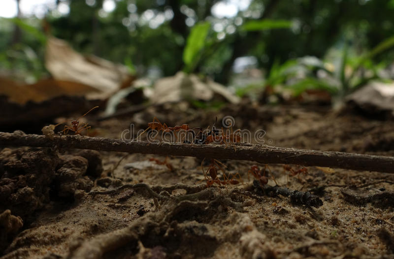 Fire ants and prey stock image