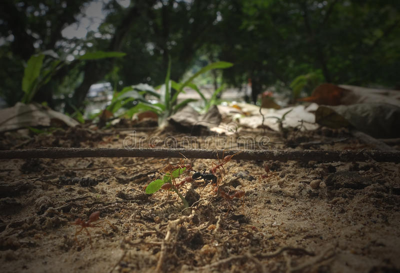Fire ants and prey royalty free stock photo