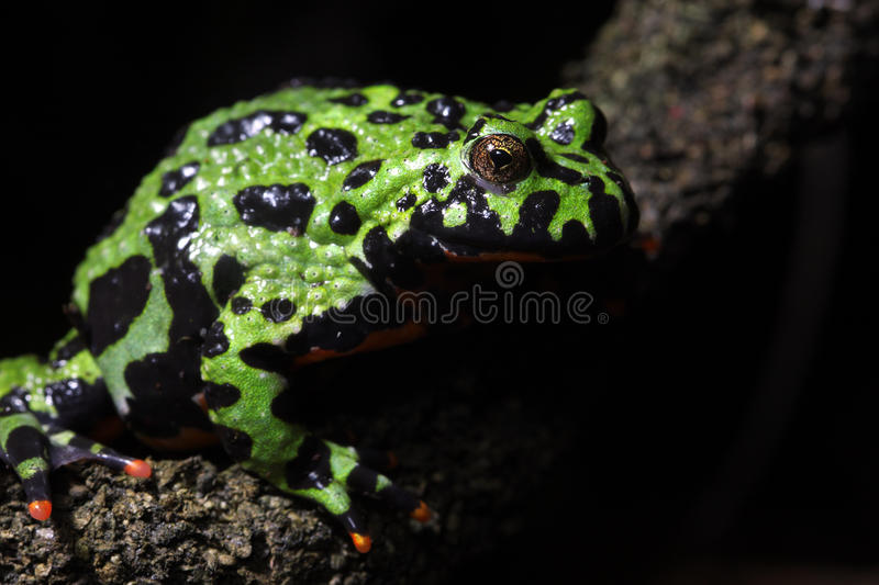 Fire-Bellied Toad. A macro shot of a Fire-Bellied Toad (Bombina Orientalis). These toads inhabit northeastern China as well as Korea royalty free stock images
