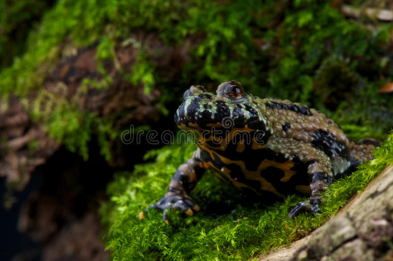 Fire-bellied toad. The (oriental) fire-bellied toad, Bombina orientalis stock images