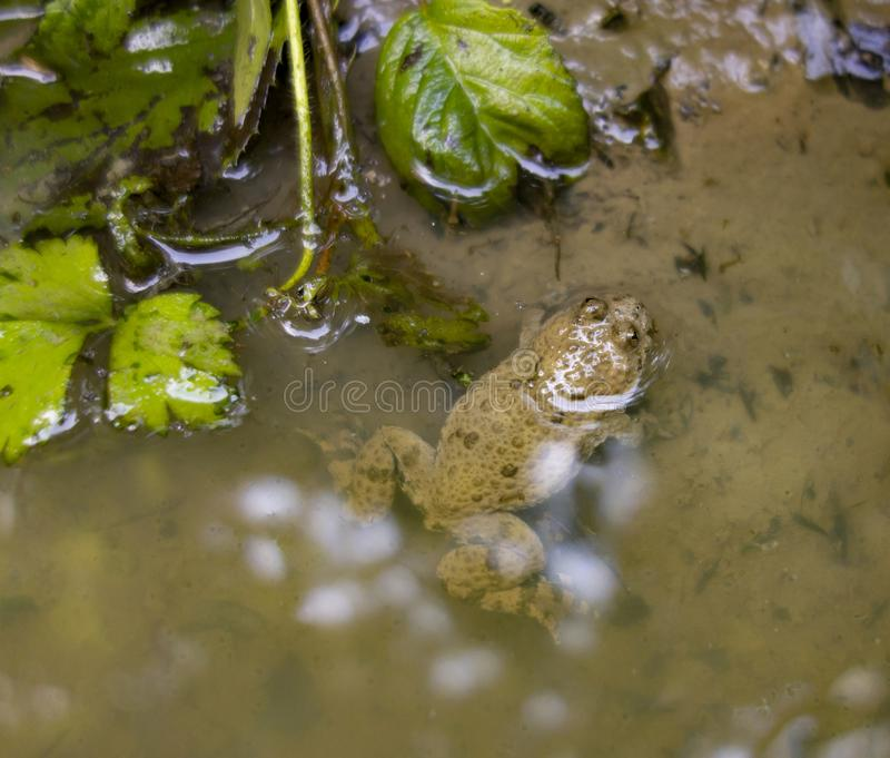 Fire-bellied toad. In riparian ambiance seen from above royalty free stock photography