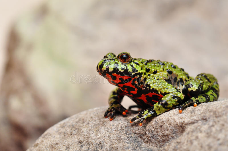 Fire-bellied Toad. Sitting on a stone royalty free stock photography