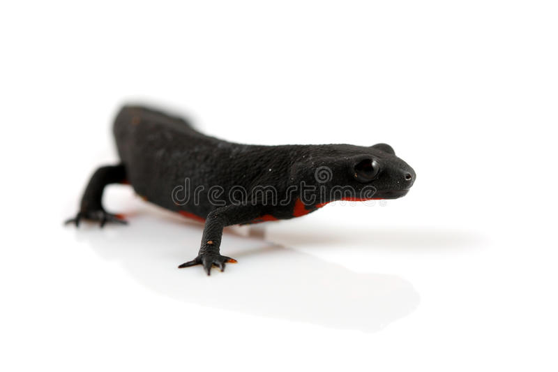 Download Fire Belly Newt stock image. Image of japan, orientalis - 20428319