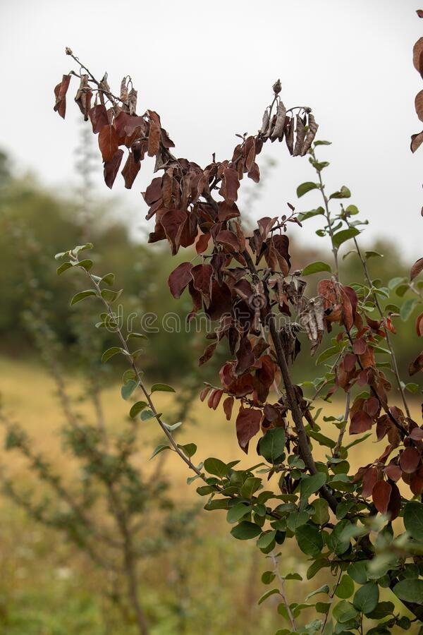 Free Fire Blight, Fireblight, Quince Apple And Pear Disease, Caused By Bacteria Erwinia Amylovora Royalty Free Stock Photography - 199517287