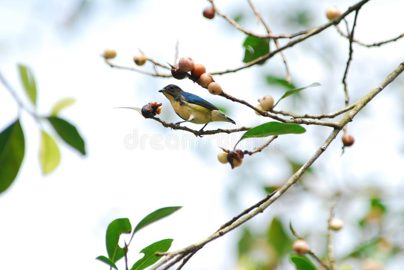 Fire-breasted Flowerpecker stock photography