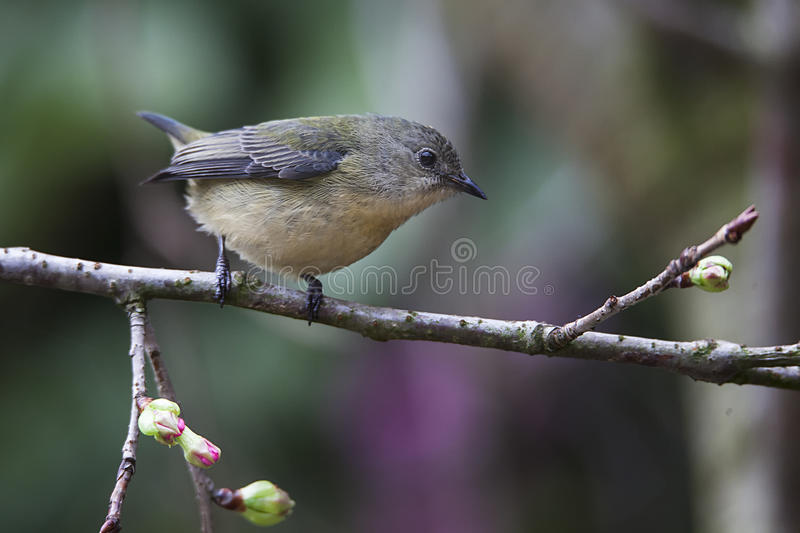 Fire-breasted Flowerpecker royalty free stock images