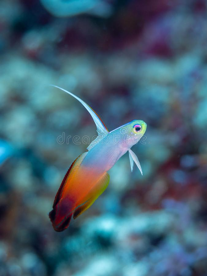 Fire dartfish, Nemateleotris magnifica. Bangka, Indonesia. Fire dartfish or fire goby, Nemateleotris magnifica. Side-on in midwater with shallow depth of focus royalty free stock images