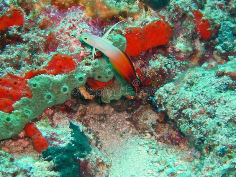 Fire dartfish, wildlife in the Indopacific royalty free stock photography