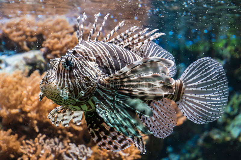 Fire fish afreican lionfish brown and white poiseness tropical royalty free stock image