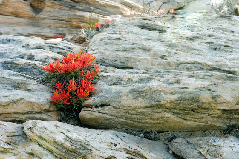 Fire Flower out of the Rocks. Small fire flower plant growing inbetween rocks royalty free stock photo