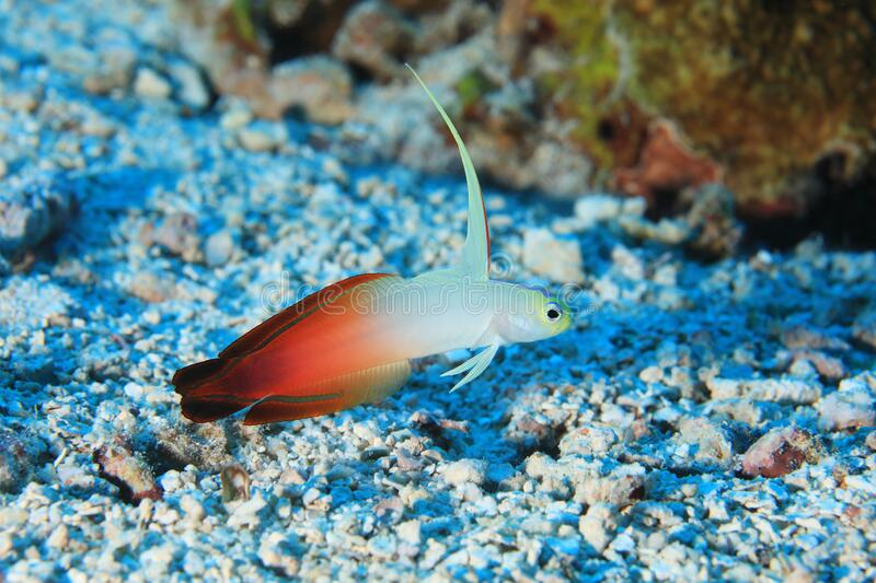 Fire goby fish. Nemateleotris magnifica underwater in the tropical waters of the Maldives royalty free stock images