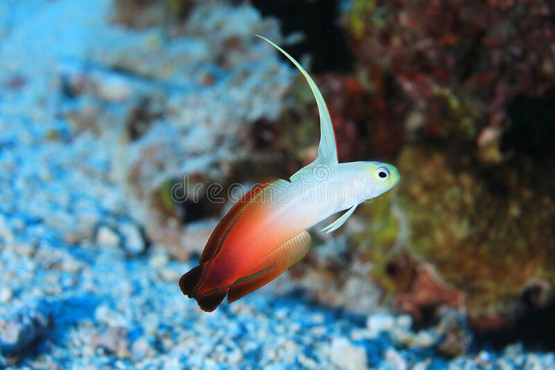 Fire goby fish. Nemateleotris magnifica underwater in the tropical waters of the Maldives royalty free stock photography