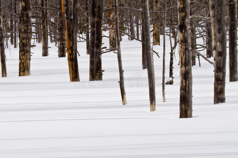 Download Fire Killed Trees Cast Shadows On The Snow Stock Photo - Image: 38878416