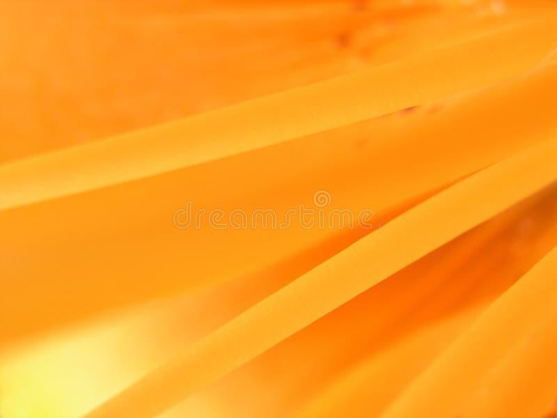 Fire Lily - Lilium bulbiferum stock photo