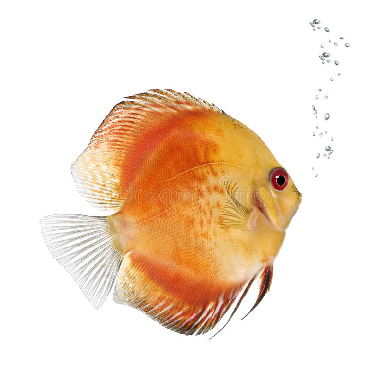 Fire Red Discus fish, Symphysodon aequifasciatus. In front of white background, studio shot royalty free stock photos