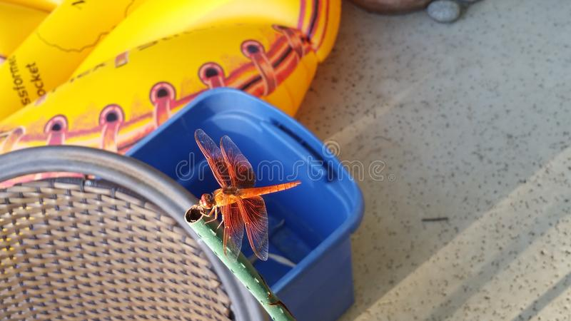 Fire red Dragonfly stock photos